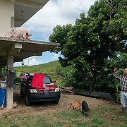 AUGUST 27, 2018--YABUCOA---PUERTO RICO--<br /> Eduardo &quot;Eddie&quot; Cruz, a   plantain farmer in Yabuco, with his pet pig in his house. Cruz has a farm that expands several acres.<br /> (Photo by Angel Valentin/Freelance)