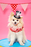 Portriat of a pomeranion wearing a black top hat against a pink seamless.<br /> Photographed at Photoville Photo Booth September 20, 2015