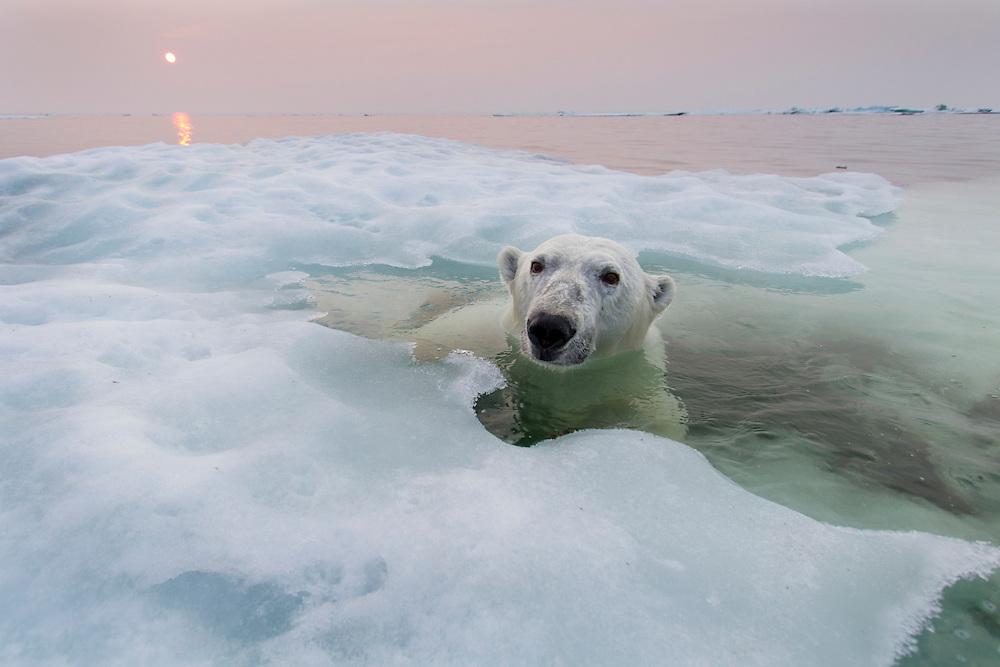 Canada, Manitoba, Churchill, Polar Bear (Ursus maritimus) peers above melting ice floes on summer evening