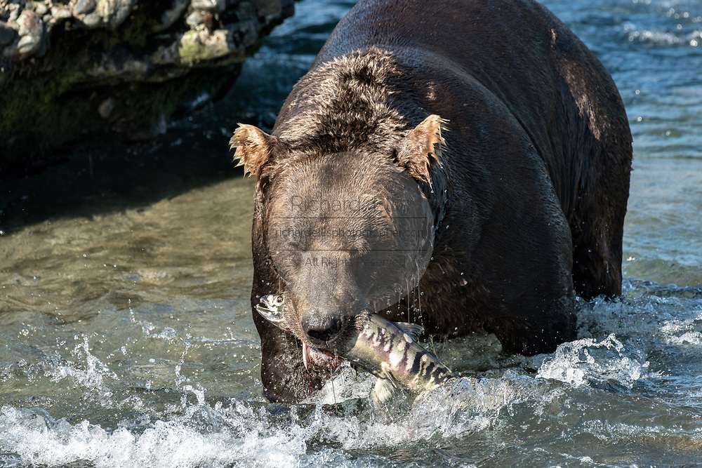 A large Grizzly bear boar catches a chum salmon in the upper McNeil River falls at the McNeil River State Game Sanctuary on the Kenai Peninsula, Alaska. The remote site is accessed only with a special permit and is the world's largest seasonal population of brown bears.