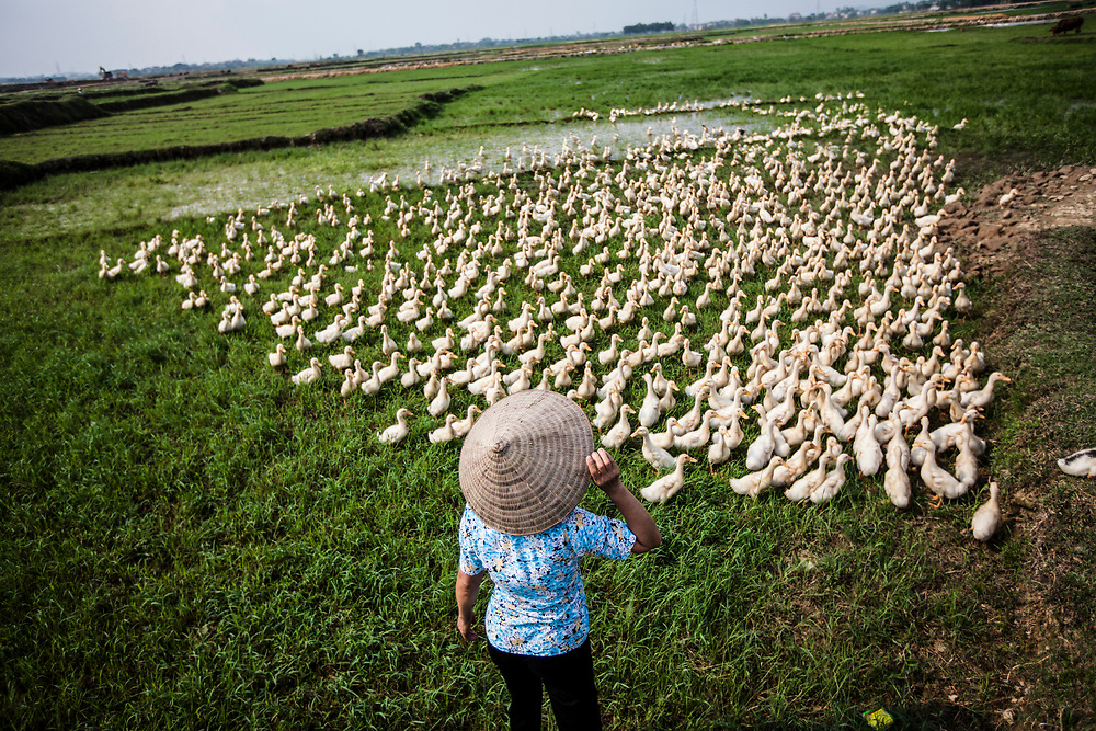 Farmer Nguyen Thi Binh checks on some of her ducks she purchased with microfinance credits from TYM, in Hanoi, Vietnam.