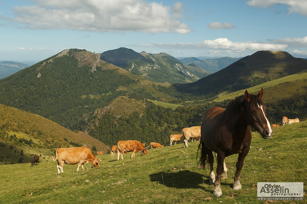 Horse and cattle grazing near the Col de l'herbe Soulette, at the base of Pic de la Calabasse near Saint-Lary, Ariege, Midi-Pyrenees, France.