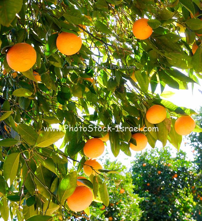 Israel, Ripe Oranges on an Orange tree