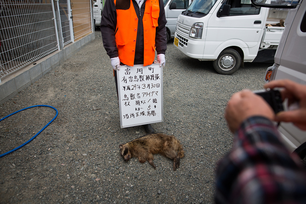 TOMIOKA TOWN, JAPAN - MARCH 30 : Member of Tomioka town's animal control hunters takes photo of a killed raccoon for record at a residential area near Tokyo Electric Power Co's (TEPCO) tsunami-crippled Fukushima Daiichi nuclear power plant in Tomioka town, Fukushima prefecture, Japan, March 30, 2017. (Photo by Richard Atrero de Guzman/NUR Photo)