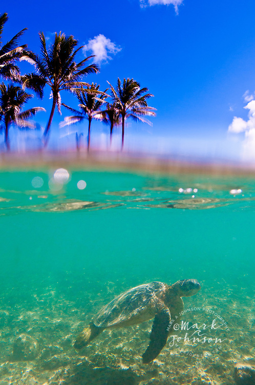 Split level view of a Green Sea Turtle and palm trees, Hawaii