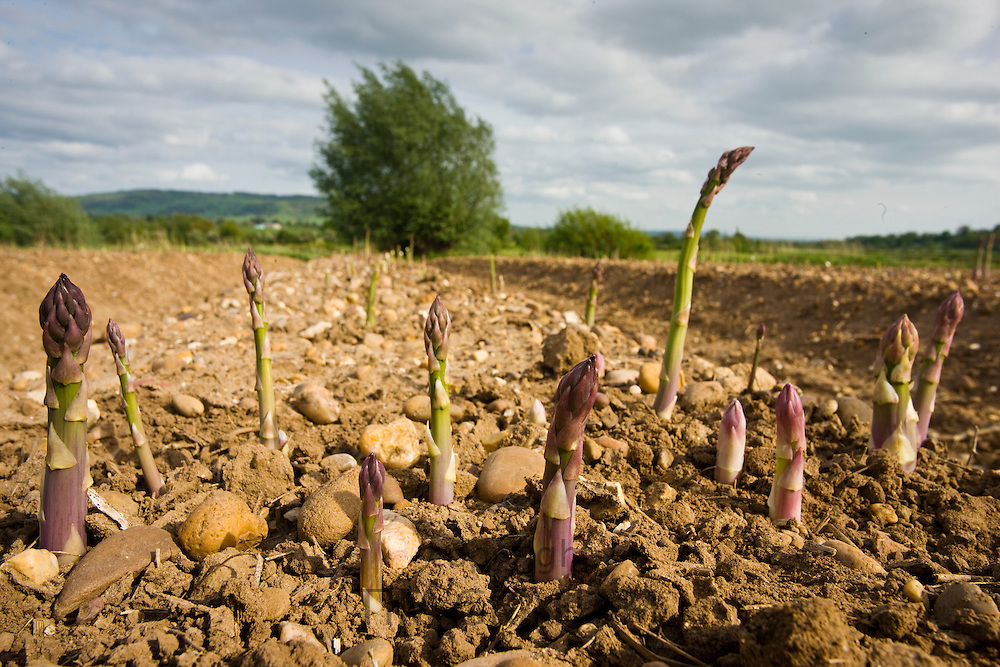 Asparagus spears growing in stony ground at Revills Farm in the Vale of Evesham, Worcestershire, UK