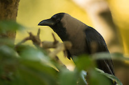 An indian house crow perches under a tree and caws at just about everything, Ranganathittu Bird Sanctuary, India