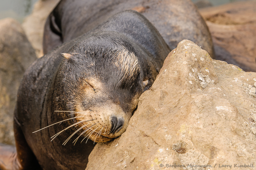 California Sea Lion [Zalophus californianus] male hauled out onto rocky shore to rest; Morro Bay, CA