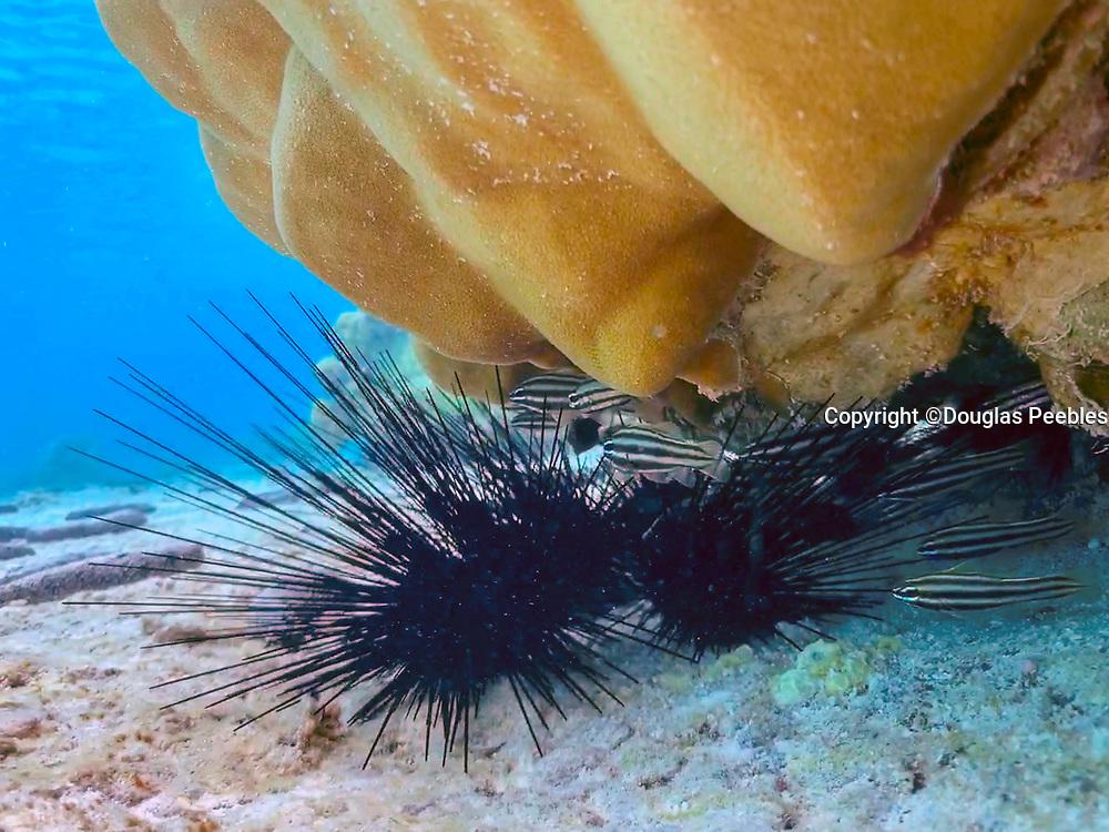 Sea Urchin, Motu Mahana, Tahaa, Society Islands, French Polynesia; South Pacific