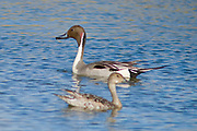 The Pintail or Northern Pintail (Anas acuta) is a widely occurring duck which breeds in the northern areas of Europe, Asia and North America.