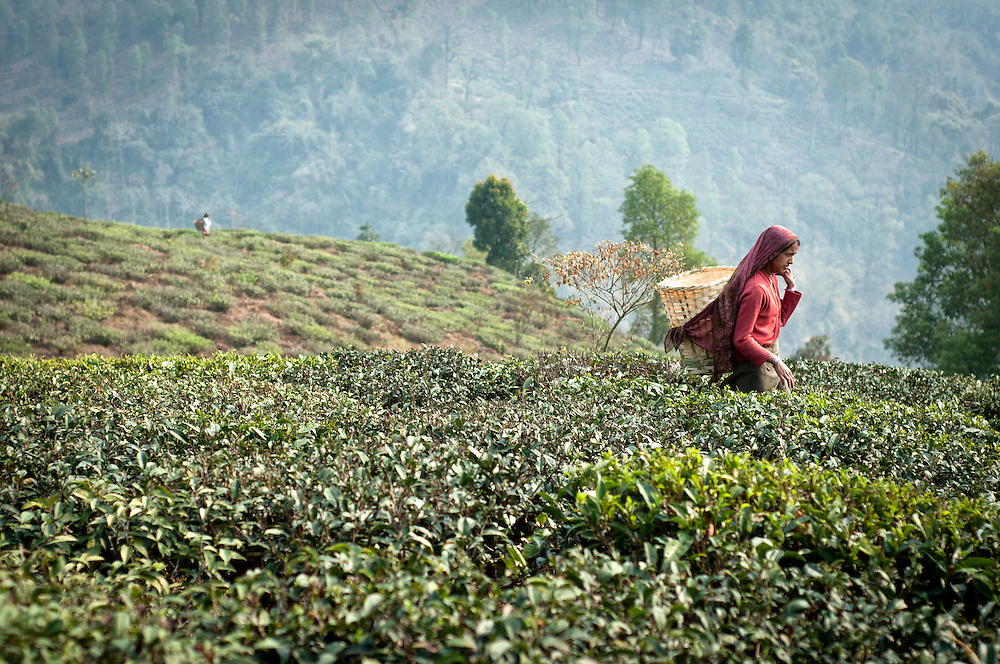 A woman walking through the tea fields.  She will pluck the tea leaves by hand, and gently place them in her basket. At the end of the day, the leaves will be weighed.