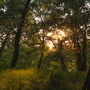 Sunset through the forest of deciduous trees.