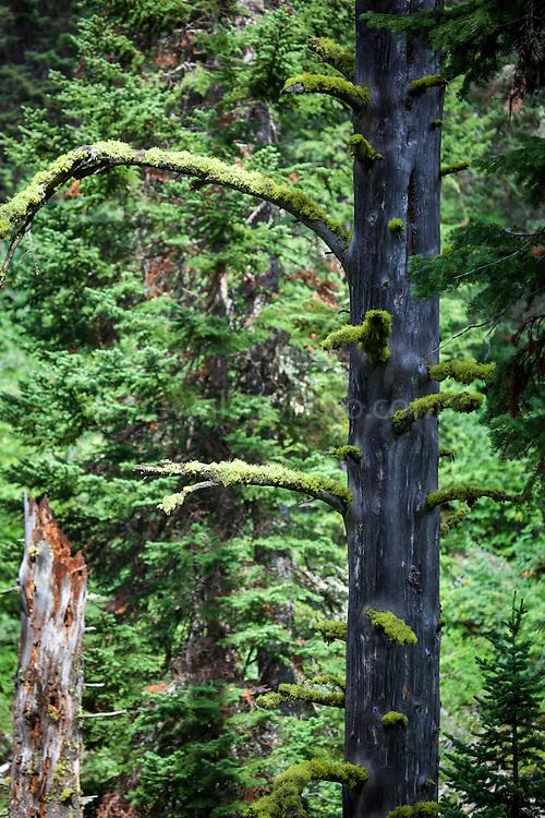 Tree moss, Jenny Lake Trail, at Grand Teton National Park, Wyoming