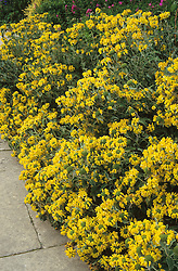 Phlomis fruticosa - Jerusalem sage in the long border at Great Dixter