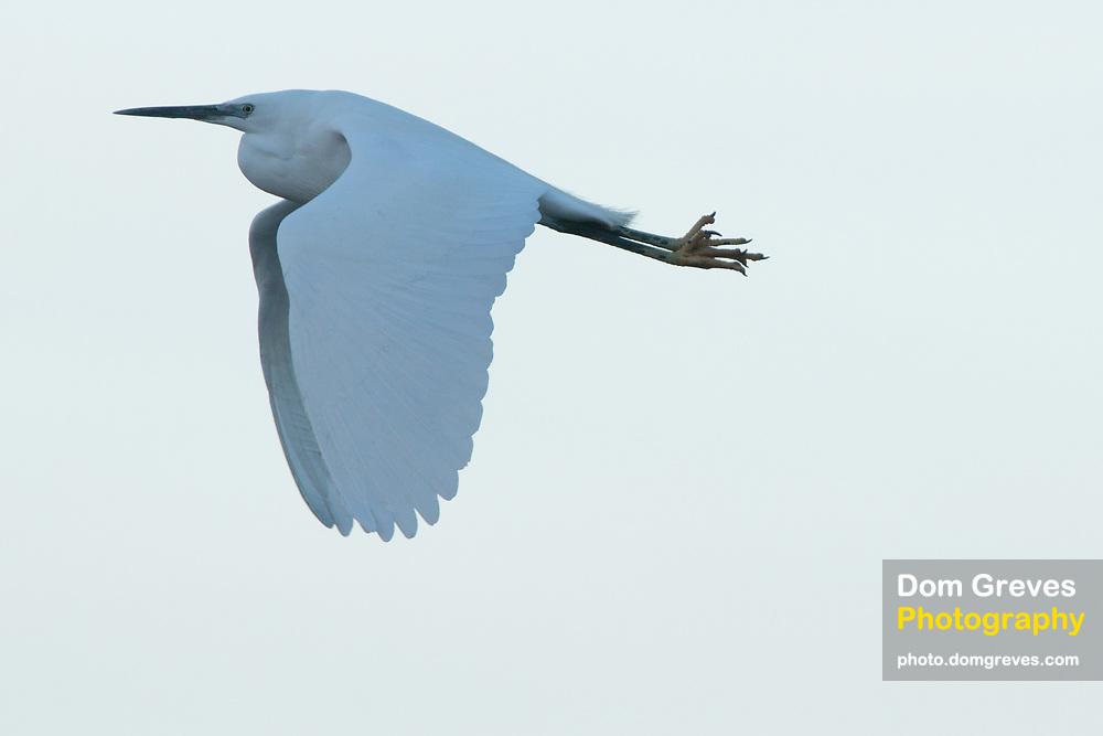 Little egret (Egretta garzetta) in flight. Poole Harbour, Dorset, UK.