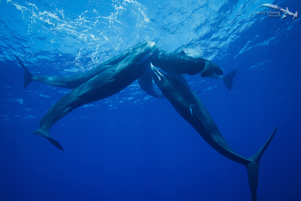 A group of sperm whales (Physeter macrocephalus) rub up against each other while socializing.