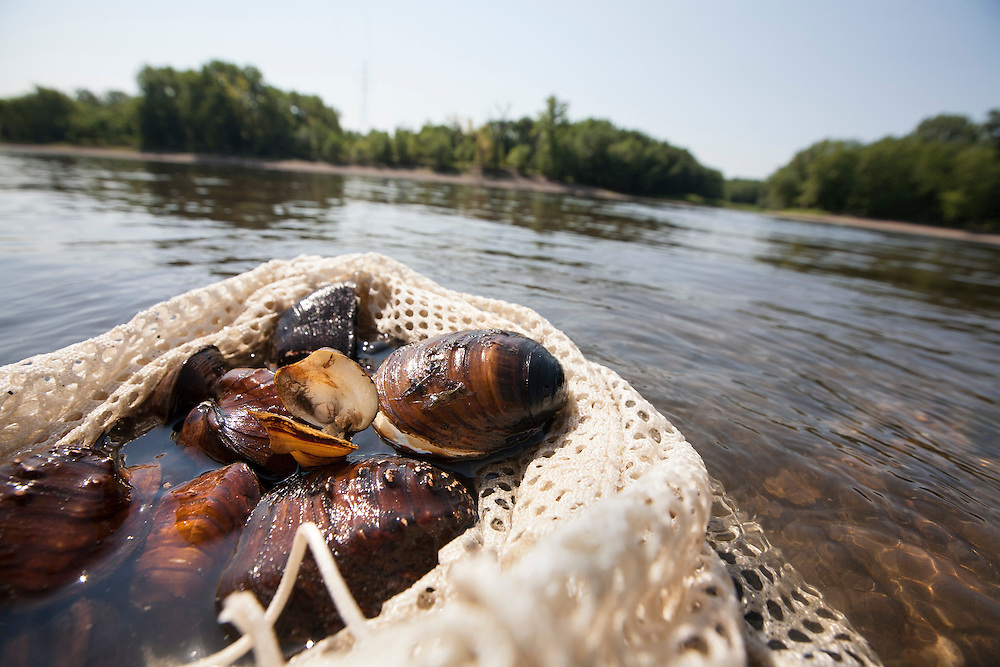 Mussels are kept cool and wet while counted, identified, and measured before they are returned to the Mississippi River August 14, 2015.