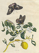 Citrus (lemon) tree and butterfly from Metamorphosis insectorum Surinamensium (Surinam insects) a hand coloured 18th century Book by Maria Sibylla Merian published in Amsterdam in 1719