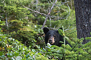 A black bear checks me out along the trail to Comet Falls in Mt Rainier National Park.