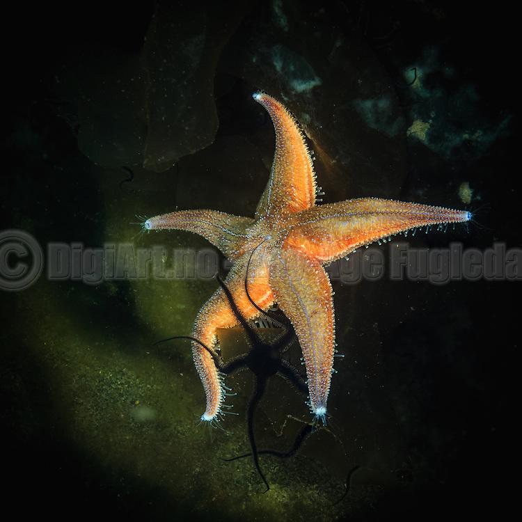 Starfish and a Brittle star captured underwater during a freedive | Sjøstjerne og en Slangestjerne fotografert i sjøen under et fridykk.