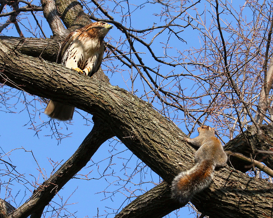 A tie goes to the squirrel, who ended this life and death struggle when he stopped running and bravely faced off against the hawk, who flew off in disgust.