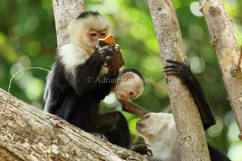 White-faced capuchin monkeys (cebus capucinus). Palo Verde National Park, Guanacaste, Costa Rica.