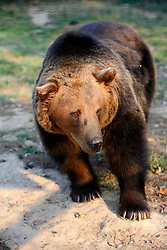 ROMANIA ZARNESTI 25OCT12 - A Eurasian brown bear strolls through enclosure 2 at the Zarnesti Bear Sanctuary in Romania, funded by WSPA.....With over 160 acres (70 hectares) spread over a wooded hillside, it is Romania's first bear sanctuary and today houses 67 bears rescued from ramshackle zoos and cages at roadside restaurants.....jre/Photo by Jiri Rezac / WSPA....© Jiri Rezac 2012