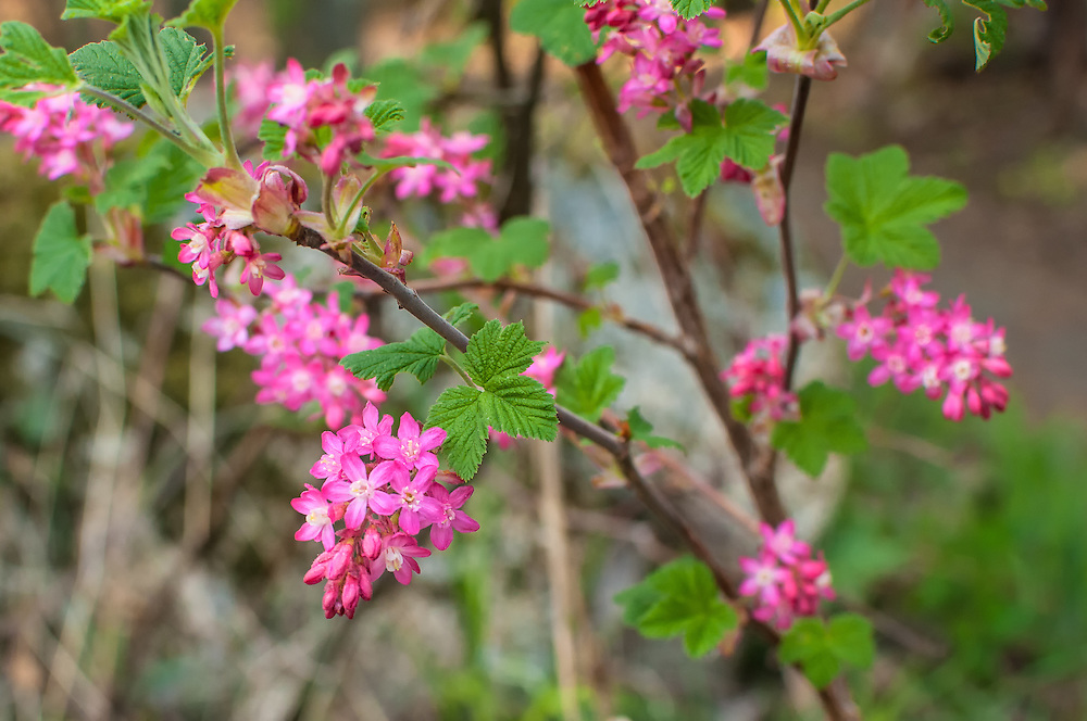 The red-flowering currant is a beautiful red to pink (based on location) deciduous shrub native to the Pacific Northwest. This one was photographed in the late spring in a forest in Steven's Pass, Washington.