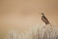 A Western Meadowlark rests atop sagebrush at Antelope Island in the Great Salt Lake northern Utah.