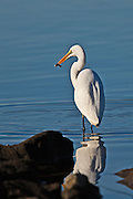 Great Egret on the shore of Lake Murray with small catch.