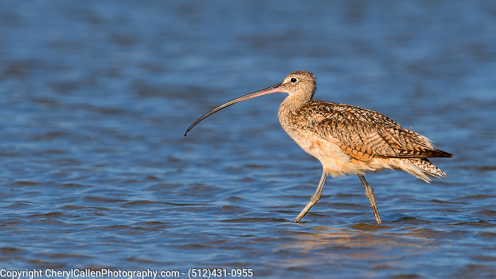 Long-Billed Curlew close-up wading in the water