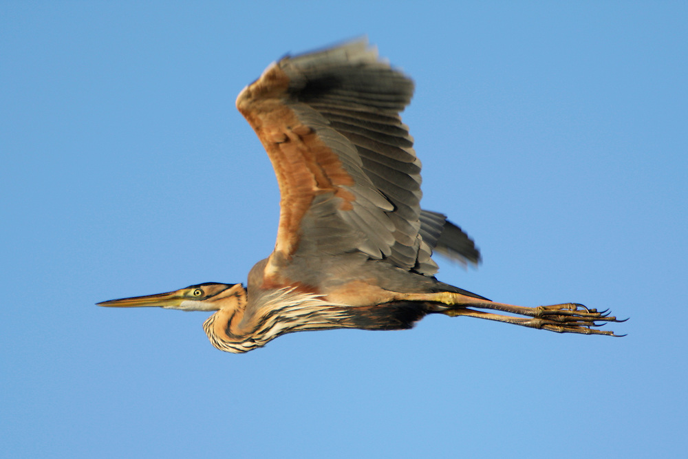 Purple Heron (Ardea purpurea) in the Danube Delta, Romania. May 2009 <br /> Mission: Danube Delta
