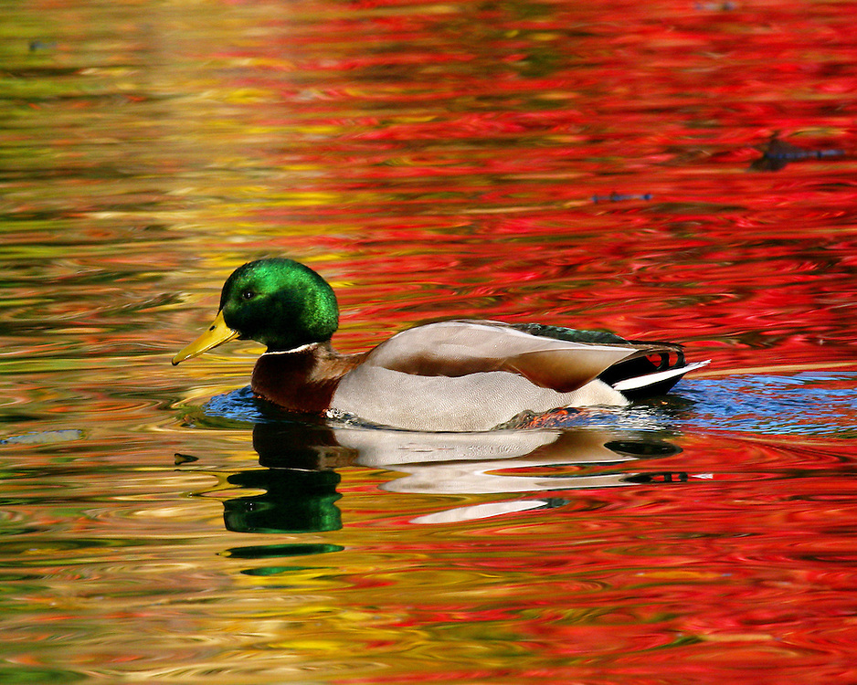 Shot in mid-Fall, the colors are truly extraordinary -- reflections on the water from leaves turning into fall colors. The duck is a male mallard.