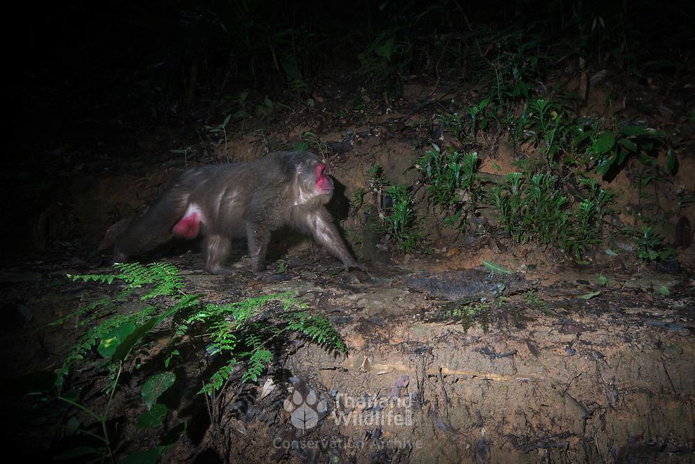 Wild Stump-tailed macaque, Macaca arctoides. Kaeng Krachan National Park.