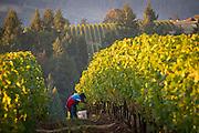 Pinot Noir harvest at Anne Amie's 12 Oak vineyard, Willamette Valley, Oregon