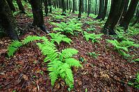 Beech forest with lady fern (Athyrium filix-femina), Bieszczady Natioal Park, Poland