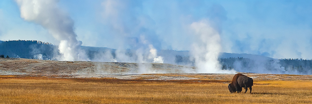 Solitary Buffalo at Midway Geyser in Yellowstone National Park