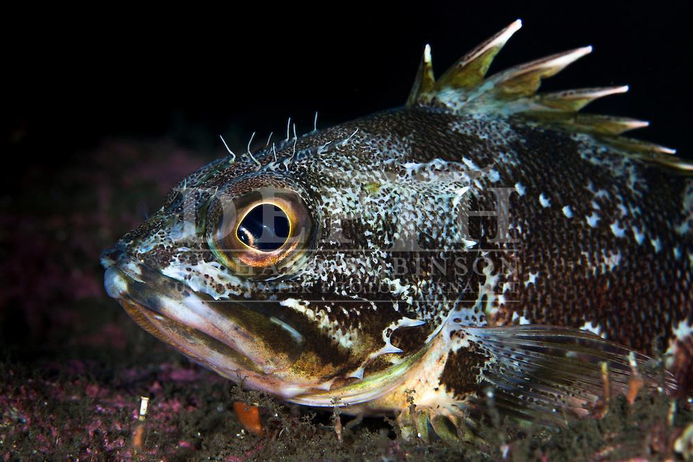Helicolenus percoides (Jock Stewart, Sea Perch)<br /> Thursday 03 April 2014<br /> Photograph Richard Robinson &copy; 2014<br /> Dive Number: 512<br /> Site: Nine Fathoms Passage, Dusky Sound, Fiordland.<br /> Boat: Tutoko<br /> Dive Ian Skipworth<br /> Temperature:  14.7<br /> Rebreather: Inspiration Vision. Total Time On Unit: 311:46 hh:mm<br /> Time: 14:49<br /> Maximum Depth: 41.3 meters<br /> Bottom Time: 120 minutes<br /> Mix: 21<br /> CNS: 53%<br /> OTU: 49%<br /> Bottom Time to Date: 34,434 minutes<br /> Cumulative Time: 34,554 minutes