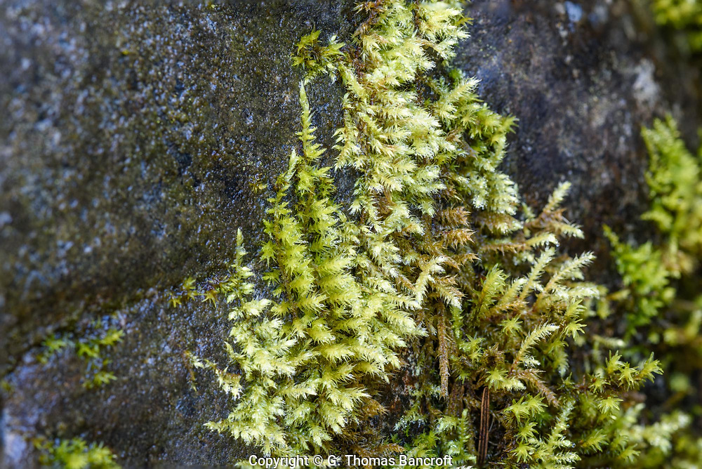 Cratoneuron filicinum -- Fern-leaved Hook Moss