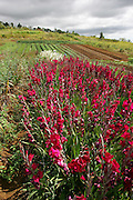 Flower farm, Upcountry Maui, Hawaii<br />