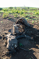 Carcass of a poached White Rhino with both horns removed by the poachers, Phinda private Game Reserve, KwaZulu Natal, South Africa