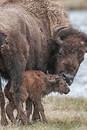 With much coaxing from his mother, a newborn bison calf struggles to his feet for the very first time.