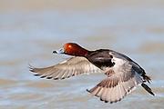 Redhead, Aythya americana, male, Saginaw Bay, Michigan