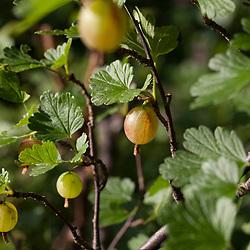 Kruisbes, Ribes uva-crispa