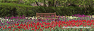 63821-21219 Panoramic of bench in bed of Tulips (Tulipa  'Negrita' purple, 'Strong Gold' yellow,  and 'Cassini' red) at Cantigny Gardens, Wheaton, IL