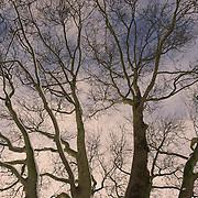Trees in Winter, London