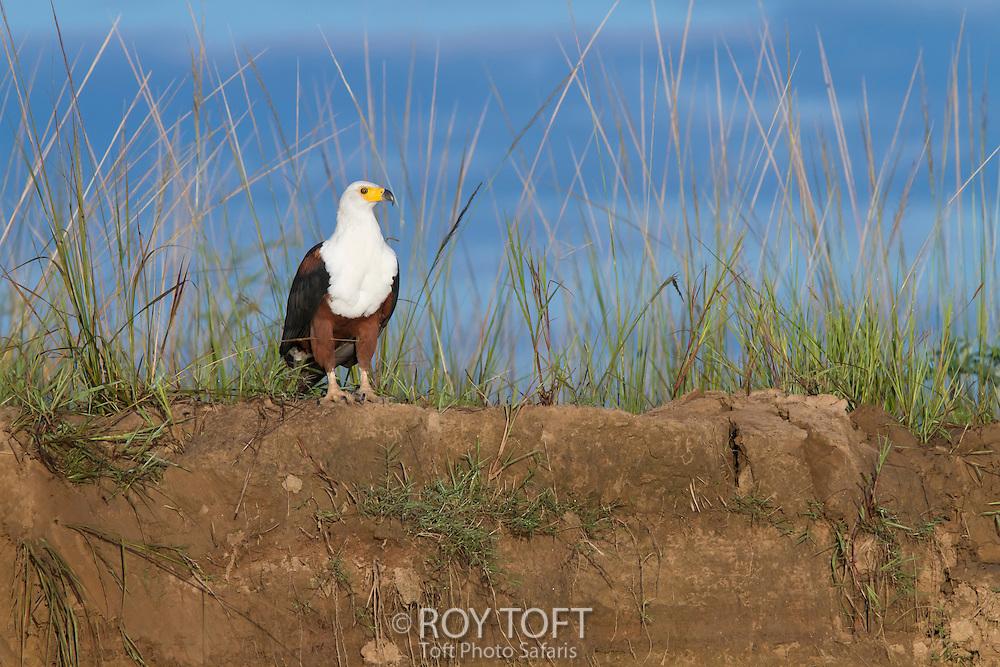 African Fish eagle (Haliaeetus vocifer), Zambia, Africa