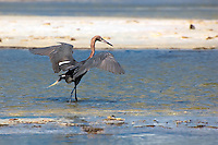 "A beautiful reddish egret drawing small fish to the ""safety"" of the shadow it creates by spreading its wings to get a meal."