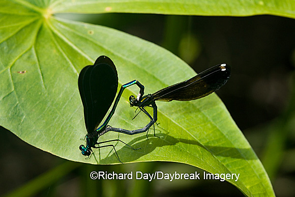 06014-002.15 Ebony Jewelwing (Calopteryx maculata) male & female in copulation wheel, Lawrence Co. IL