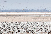 Snow Geese, Chen caerulescens, Brown County, South Dakota